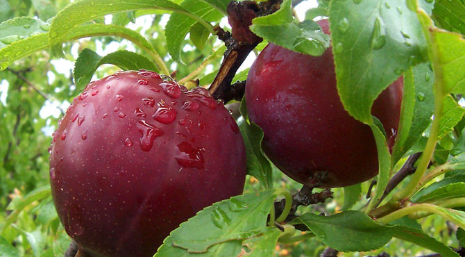 Health benefits of plums for men